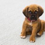 Liability - Puppy